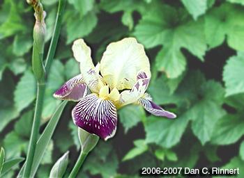 Iris 173