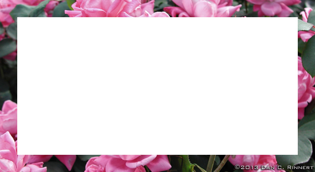 Wordless Wednesday: Border Roses
