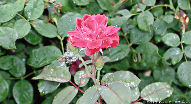Rose in the Rain 2177