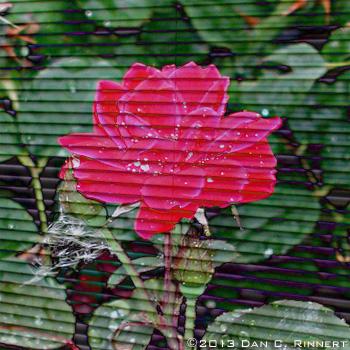 Wordless Wednesday: Rose Shades